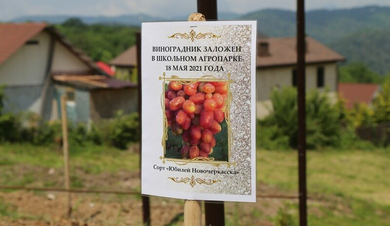 В рамках городского проекта «Школьный агропарк» в школе № 43 им. Сергея Венчагова заложили виноградник